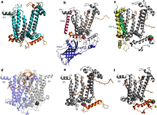 Structural comparisons of Type II reaction center proteins. a Overlap of D1 (gray) and L (cyan) subunits. Structural regions that are unique to D1 and D2 are highlighted in orange. b, c The interactions of ancillary subunits with a protein fold in D1 and D2 (orange). In D1, this region evolved to allow protein–protein interactions with the PsbI, PsbO, and CP43 subunits. In D2, it allows interactions with the Cytochrome b559 and PsbX. The presence of this fold in D1 and D2 suggests that before the evolution of oxygenic photosynthesis, the ancestral Photosystem II was already interacting with ancillary subunits. d A unique loop (orange) only present in D1 and D2. This region contains a tyrosine that coordinates the bicarbonate ligand of the non-heme Fe2+. e, f The C-terminal extension of D1 and D2 (orange) essential for the assembly and coordination of the Mn4CaO5 cluster. This C-terminal extension contains a parallel alpha helix in both subunits, suggesting that it was present in the ancestral Photosystem II before the D1 and D2 divergence