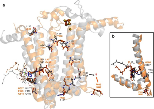 a Structural overlap of the D2 protein of Photosystem II (gray) and the last five transmembrane helices of the PsaB subunit of Photosystem I (orange). The amino acids that are strictly conserved are shown in sticks, and the corresponding sequence numbers are given according to the crystal structures 3ARC (Photosystem II) and 1JB0 (Photosystem I). b Position of the special pair pigment PB and PD2 relative to the tenth and fourth transmembrane helices of PsaB and D2, respectively. The question mark highlights two residues that could be homologous but occupy different structural positions