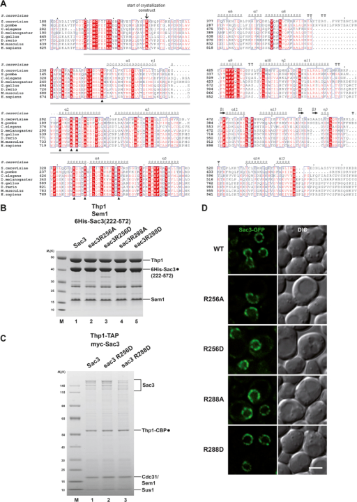 Sac3 Sequence Analysis and Characterization of Sac3 Mutants, Related to Figure 1(A) Sequence alignment of Sac3 proteins from S. cerevisiae, S. pombe, C. elegans, D. melanogaster, G. gallus, D. rerio, M. musculus, and H. sapiens. Conserved residues are highlighted in boxes. Strictly conserved residues have a red background. Filled triangles mark strictly conserved residues located within clusters A and B of the Sac3 helical domain. Open triangles label residues Lys467 and Lys468, which are also shown in Figure S2A. Solid gray bar indicates sequence that defines the Sac3 PCI domain as 'atypical' compared to conventional PCI domain variants (Pick et al., 2009).(B) SDS-PAGE analysis of 6His-Sac3 wild-type and mutant PCI domain complexes after polycistronic expression in E. coli, Ni-NTA affinity purification and size-exclusion chromatography on a Superdex 200 column.(C) TREX-2 purification from yeast cells. Thp1-TAP sac3Δ strains were transformed with the indicated N-terminally myc-tagged SAC3 plasmids (endogenous promoter) and subject to tandem-affinity purification. The full-length Sac3 protein typically shows variable signs of degradation. Sus1 and Cdc31 bind to the C-terminal domain of TREX-2 (see Figure 1A) and their stoichiometry with respect to Thp1 is a good proxy of overall complex integrity.(D) Localization of N-terminally GFP-tagged Sac3 versions expressed from their endogenous promoter in sac3Δ cells. Sac3 localizes mainly to the nuclear periphery, where it exhibits a punctate staining pattern that is typical for NPCs and their associated proteins. Scale bar 3μm.