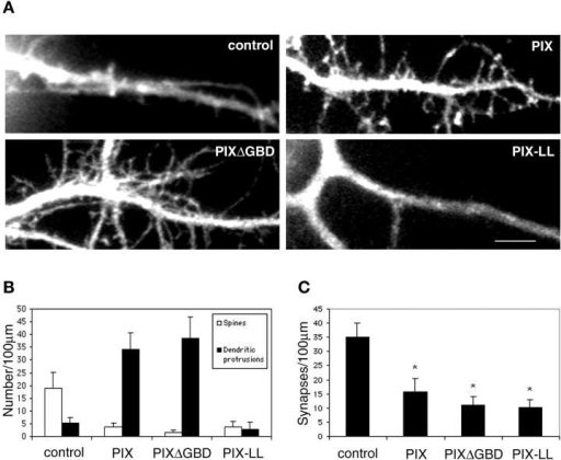 "Effects of PIX mutants on spine morphology and synaptic density. (A) Hippocampal neurons were transfected with various PIX constructs at day 7 in culture and imaged at day 14 in culture. Note the increase in dendritic protrusions in PIX- and PIXΔGBD- overexpressing neurons and the decrease in spines and dendritic protrusions in PIX-LL–expressing neurons. ""Control"" denotes GFP-expressing neurons. Bar, 5 μm. (B) Quantification of the number of spines and dendritic protrusions in various PIX constructs. (C) Quantification of the number of synapses in various PIX constructs. The difference between PIX constructs and the untransfected neurons (control) was statistically significant as determined by the Student's t test (*P < 0.0001)."