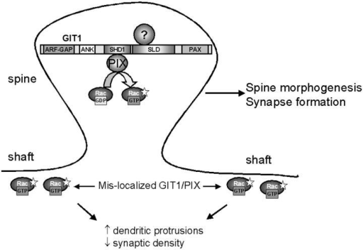 GIT1 regulates synapse formation. GIT1 is targeted to synapses through the SLD. At the synapse, GIT1, or possibly other related molecules, functions as an adaptor protein recruiting exchanges factors, such as PIX, to synapses where they locally activate Rac. Locally regulated Rac activation is essential for spine morphogenesis and synapse formation. When GIT1/PIX is mislocalized from synapses, Rac is activated outside the synaptic area. Mislocalized active Rac is responsible for the increased dendritic protrusions and decreased synaptic density. Inhibition of the Rac signaling pathway results in a decrease in the density of spines and synapses. The indicated domains of GIT1 are as follows: ARF-GAP domain (ARF-GAP), ankyrin repeats (ANK), Spa2 homology domain 1 (SHD1), synaptic localization domain (SLD), and paxillin binding domain (PAX). The question mark indicates the unknown molecule that targets GIT1 to synapses.