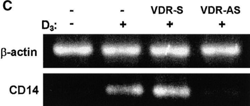 VDR antisense S-oligo inhibits D3-induced CD14 expression. 5 × 106 THP-1 cells were suspended in 500 μl of 2.5% lipofectAMINE/RPMI 1640 alone (control), or containing 5 μM of either sense (S) or antisense (AS) S-oligo to the VDR. Cells were then incubated on a rotary shaker for 4 h at 37°C. The volume was then brought up to 7 ml, and cells were cultured for an additional 18 h at 37°C and 5% CO2. (A) 0.5 × 106 cells were boiled in Laemmli buffer and subjected to SDS-PAGE and immunoblotting with mAb to VDR. Membranes were developed by ECL as described (reference 44). The data shown are from one of two independent experiments that yielded similar results. (B) Aliquots of control or S-oligo–treated cells (∼1 × 106) were incubated with D3 (100 nM, 24 h), washed with staining buffer, and then labeled with anti-CD14 mAb or irrelevant mAb followed by FITC-conjugated, secondary Abs. Flow cytometric analyses were performed, and MFI indices were determined as described in the legend to Fig. 1. Results are expressed as histograms of fluorescence intensity. Histograms displaced to the right represent cells stained with anti-CD14, and histograms on the left represent cells stained with irrelevant IgG2b. Bold, italicized values in each frame are averages (n = 2) of MFI indices, determined as in the legend to Fig. 1. (C) Control or S-oligo–treated cells (∼3 × 106) were incubated with D3 (100 nM, 24 h). Total RNA was extracted and RT-PCR was carried out for CD14 and β-actin as described (reference 41). Controls consisting of no RNA and RNA without RT were included, and no signals were obtained (data not shown). The data shown are from one of two independent experiments that yielded similar results.