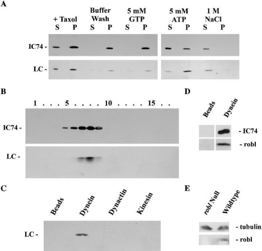 A robl/LC7-like protein is present in cytoplasmic dynein. (A) Western blot analysis was performed on samples from the fractionation of a rat brain homogenate. Blots were probed with mAb 74-1 and the R7178 rabbit polyclonal to detect IC74 of cytoplasmic dynein and the Mr ∼12,000 robl/LC7-like protein, respectively. (B) Rat brain proteins eluted from microtubules with ATP were sedimented in a 5–20% sucrose gradient. Samples were probed with the 74-1 and R7178 antibodies. The robl/LC7-like protein precisely comigrates with IC74 of cytoplasmic dynein. (C) Rat brain homogenate immunoprecipitates of cytoplasmic dynein (antibody 74-1), kinesin (antibody H-2), dynactin (antibody 50-1), and a bead control were probed with the R7178 antibody. The robl/LC7-like protein is detectable only in the cytoplasmic dynein (IC74) sample. (D) Drosophila embryo immunoprecipitates of cytoplasmic dynein (antibody 74-1) or the bead control were probed with the 6883 anti-robl antibody and 74-1 anti-IC74 antibody. The roadblock protein was only precipitated in the cytoplasmic dynein (IC74) sample. (E) Equally loaded Drosophila robl  and wild-type larval homogenates were probed with the 6883 anti-robl antibody and with the 3A5 anti-tubulin antibody. The roadblock protein is undetectable in the robl  larvae, whereas tubulin is detected at about equal levels in  and wild-type larvae.