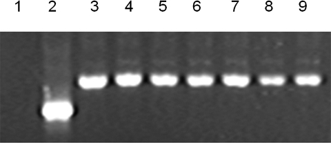 Octamer binding protein 4 expression by RT–PCR.Lanes 3–9 represent FY-hES-1, -3, -4, -5, -7, -8 and FY-3PN, respectively. Lane 1 is a negative control and lane 2 is human β-actin (265 bp).
