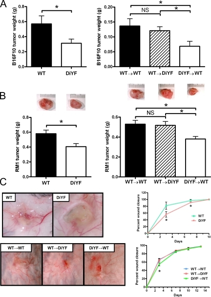 Reduced tumor growth and delayed wound healing in DiYF mice are BM dependent. (A) Weights of subcutaneous B16F10 tumors in WT and DiYF mice (11 d after implantation) or mice undergoing BMT (13 d) with WT or DiYF donor marrow. Data represent mean ± SEM (n = 10 per group). (B) Weights of subcutaneous RM1 tumors in WT and DiYF mice (9 d after implantation) or mice undergoing BMT with WT donor marrow (11 d after implantation). Representative tumors are depicted above their respective dataset. Data represent mean ± SEM (without BMT, n = 14 per group; with BMT, n = 18 per group). (C) Analysis of wound healing in WT and DiYF mice. Gross visualization of healing wounds 3 (top left) and 7 (bottom left) d after wound creation in WT and DiYF mice not undergoing (top left) and undergoing (bottom left) BMT with WT or DiYF donor marrow. Percentage of wound closure in WT and DiYF mice (top right) and WT and DiYF mice (bottom right) undergoing BMT. Data represent mean ± SEM (WT and DiYF, n = 10 per group; WT→WT, n = 16; WT→DiYF, n = 12). *, P < 0.05.