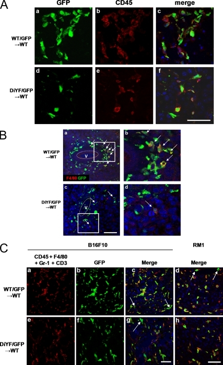 Identification of tumor infiltrating BMDCs. (A) Immunofluorescent detection of GFP (a and d) and CD45 (Ab and Ae) along with the merged image (Ac and Af). Sections are of B16F10 origin in WT mice after BMT with WT/GFP (a–c) or DiYF/GFP (d–f) donor marrow. (B) Immunofluorescent detection of GFP (green) and F4/80 (red) in B16F10 tumor sections from WT mice after BMT with WT/GFP (a) or DiYF/GFP (c) donor marrow. Blood vessels marked as V. (b and d) Higher magnifications of enclosed boxes in a and c, respectively. (C) Immunofluorescent detection of CD45+F4/80+Gr-1+CD3 (a and e) and GFP (b and f) along with merged images of B16F10 (c and g) and RM1 (d and h) tumor sections from WT mice after BMT with WT/GFP (a–c) or DiYF/GFP (e–h) donor marrow. Arrows indicate GFP-positive cells that are negative for CD45+F4/80+Gr-1+CD3. Bars, 100 μm.