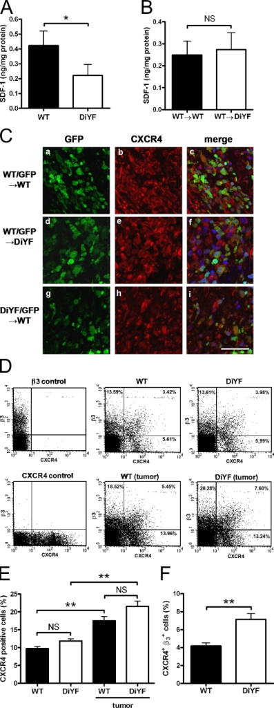 The SDF-1/CXCR4 axis regulates angiogenesis in DiYF mice. (A) Levels of SDF-1 in WT and DiYF B16F10 tumors. Data represent mean ± SEM (duplicate measurements of n = 10 [WT] and n = 8 [DiYF] tumors each group). *, P < 0.05. (B) Levels of SDF-1 in WT and DiYF B16F10 tumors after BMT with WT donor marrow. Data represent mean ± SEM (duplicate measurements of n = 6 per group). (C) Immunofluorescent detection of GFP (a, d, and g) and CXCR4 (b, e, and h) along with the merged image (c, f, and i). Sections are of RM1 origin in WT (a–c and g–i) and DiYF (d–f) mice after BMT with WT/GFP (a–f) or DiYF/GFP (g–i) donor marrow. (D) Peripheral blood analysis of β3+ and CXCR4+ cells in nontumor- and B16F10 tumor-bearing WT and DiYF mice. (E) Percentage of circulating CXCR4+ cells in nontumor- and B16F10 tumor-bearing WT and DiYF mice. Data represent mean ± SEM (n = 5 per group). (F) Percentage of circulating CXCR4+β3+ cells in B16F10 tumor-bearing WT and DiYF mice. Data represent mean ± SEM (n = 5 per group). **, P < 0.01.