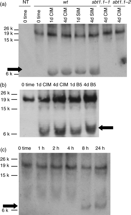 In vivo cleavage of pAtPSK4-myc.(a) Root segments from wild-type transgenic seedlings expressing the construct 35S:ppAtPSK4-myc were explanted and incubated on callus induction medium (CIM) for 1-4 days and then transferred onto shoot induction medium (SIM). Root segments from sbt1.1-1 and sbt1.1-2 mutants expressing 35S:ppAtPSK4-myc were also explanted and similarly incubated. Arrows indicate the predicted migration position for processed AtPSK4–myc. The lane marked NT is an extract from roots of non-transformed seedlings.(b) Root segments from seedlings bearing 35S:ppAtPSK4-myc in a wild-type background were explanted and incubated on normal CIM or on B5 basal medium, without cytokinin or auxin hormones.(c) Time course following explantation for acquisition of capacity to process pAtPSK4–myc on CIM medium.