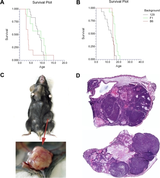 Phenotypic characterization of Apc+/1572T mice: mammary adenocarcinomas are composed by mixed differentiation lineages with heterogeneous patterns of β-catenin intracellular accumulation and subcellular localization.Survival curves of (A) female and (B) male Apc+/1572T mice, respectively. The black, green and red lines are representative of mice in the 129Ola, F1 B6x129Ola, and B6 respectively. Please note that in these graphs, age of death represents the moment at which, due to the presence of signs of discomfort or because the tumor size exceeded 2 cm3, mice had to be euthanized according to institutional and national regulations. (C) Macroscopic image of the appearance of the mammary adenocarcinomas characteristic of the Apc1572T model. (D) Examples of global digital microscopy scans of two mammary adenocarcinomas from Apc+/1572T mice illustrative of the multi-lineage nature of these lesions.