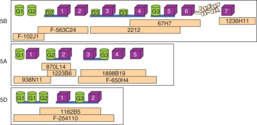 Detailed schematic diagram of the cdk cluster on chromosome 5B and homoeologous regions on chromosomes 5A and 5D. The homoeologous regions of 5B, 5A and 5D are defined in three white boxes. Pale pink blocks represent the BACs. Blocks in magenta represent the cdk-like genes, large green cylinders represent storage protein-like genes (sp) where G1, G2 and G3 indicate that there are differences at the protein level; smaller green cylinders represent fragments of storage protein-like genes. The solid blue horizontal line indicates that the genes are found on the same BAC sequence contig. Sub-telomeric heterochromatin is shown inserted between cdk-like genes 6 and 7 on 5B.
