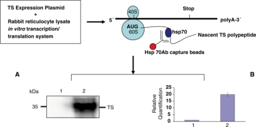 Western immunoblot analysis of in vitro translated TS protein expression isolated using hsp70/hsc70 antibody affinity capture beads (lane 2); unrelated α-tubulin antibody beads were used as negative control (lane 1) (A). Real-time qRT-PCR analysis of in vitro transcribed TS mRNA expression (lane 1, control; lane 2, TS mRNA) (B).