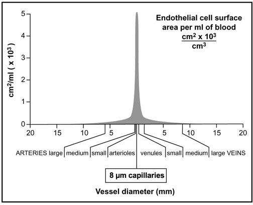 Endothelial cell surface area per ml of blood. Adapted from Busch et al [6].