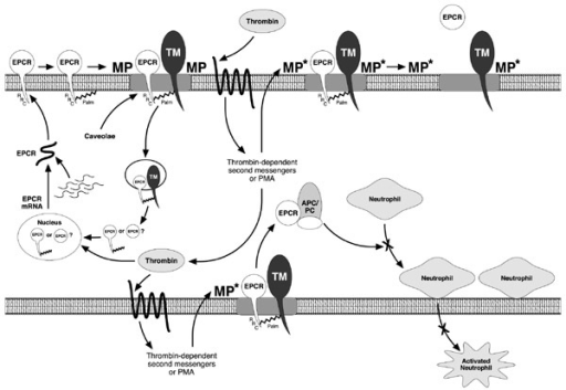 Activated Protein C/EPCR-mediated anticoagulant pathway. APC, Activated Protein C; MP, metalloproteinase; Palm, palmitate; PC, Protein C; PMA, phorbol myristate acetate; TM, thrombomodulin; RRC, Arg,Arg,Lys. Adapted from Esmon [18].