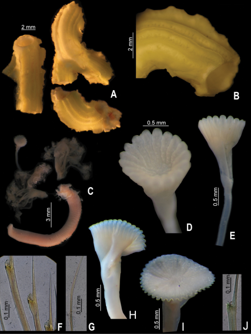 A–GSerpula madrigalae sp. n., from Turks and Caicos, USNM 1157006, holotype A–B tube and detail C entire body D–E operculum, in aboral and lateral views F bayonet chaetae G hooded (capillary) chaetae H–JSerpula cf. vermicularis, from Nigeria, UMML 22.545 H–I two distinct opercula in lateral and aboral views J bayonet chaetae.