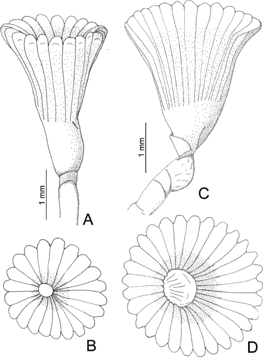A–DSerpula vossae sp. n., from Honduras, USNM 1157004, holotype A–B operculum in lateral and aboral views; from Bahamas, UMML 22.435 C–D operculum in lateral and aboral views.