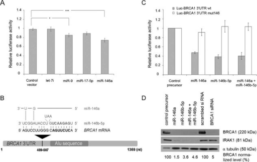 Binding of miR-146a and miR-146b-5p to BRCA1 3′UTRRelative luciferase activity after cotransfection into HeLa cells of the Luc-BRCA1 3′UTR reporter vector and of an empty miR-Vec construct (control vector), or of miR-Vec constructs expressing different miRNAs, as indicated. Error bars represent standard error of the mean (SEM) of four independent experiments. *p < 0.05; ***p < 0.001 (Student's t-test).Sequence alignment of miR-146a and miR-146b-5p and their complementary site in the schematically represented BRCA1 3′UTR. The seed sequence is bolded.Repression of luciferase activity after cotransfection into HeLa cells of the wild-type (wt) or mutated (mut146) Luc-BRCA1 3′UTR reporter vector and of control or miR-146 synthetic precursors, as indicated. Error bars represent SEM of four independent experiments.Western blot analysis with an antibody against IRAK1 or BRCA1 of proteins extracted from HeLa cells transfected with a control, miR-146a, miR-146b-5p or both miR-146a and miR-146b-5p precursors. The bands corresponding to BRCA1 were quantified relative to the α-tubulin loading control (BRCA1 normalized level) using the GelDoc™XR+ Imager (Bio-Rad) and the Image Lab™ software. The results shown are representative of at least three independent experiments.
