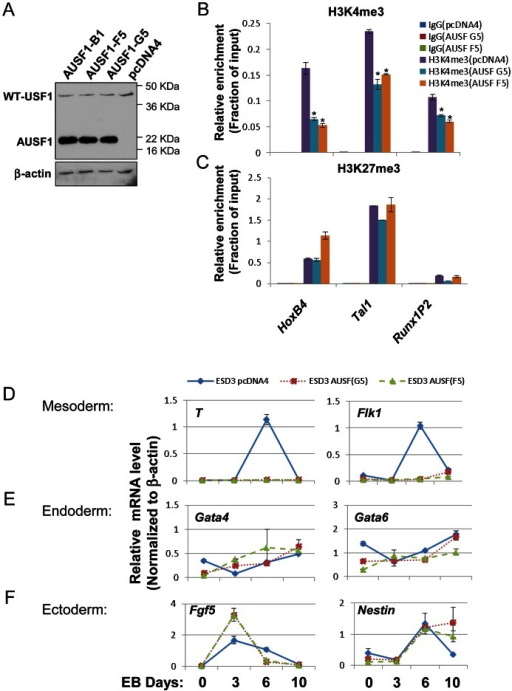 USF1 regulates ESC pluripotency by specifically controlling mesoderm differentiation.(A) Immunoblot assay showing the levels of endogenous USF1 and ectopically expressed AUSF1 in pcDNA transfected and AUSF1 expressing mES cells. (B) ChIP analyses of H3K4m3 levels at the HSC-associated HoxB4, TAL1, and Runx1 genes comparing the pcDNA transfected control and the dominant negative AUSF1 overexpressing ESCs. Data are shown as mean ± SD. * P<0.05 and ** P<0.01. (C) ChIP analyses of H3K27m3 levels at the HSC-associated HoxB4, TAL1, and Runx1 genes comparing the pcDNA transfected control and the dominant negative AUSF1 overexpressing ESCs. Data are shown as mean ± SD. * P<0.05 and ** P<0.01. (E) to (F)Time course qRT-PCR analyses of the expression levels of mesoderm (D), endoderm (E), and ectoderm (F) markers in pcDNA control and two AUSF1 overexpressing clones upon withdrawal of LIF.