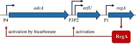 Schematic representation of the double feed‐back auto‐activation loop of regA transcription. The four promoters (P1, P2, P3 and P4) which are responsible for regA expression are indicated by hooked horizontal arrows. P1 is a constitutive promoter, whereas transcription of P2 and P3 can be activated by RegA alone and further stimulated by bicarbonate. Transcription of the P4 promoter is also stimulated by RegA and activation is largely bicarbonate‐dependent.