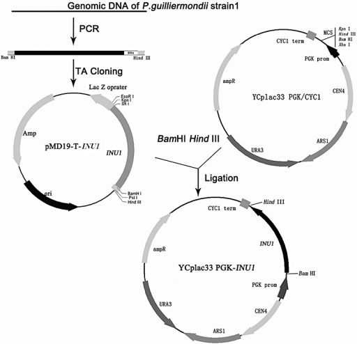 Construction of the recombinant plasmid YCplac33 PGK‐INU1.