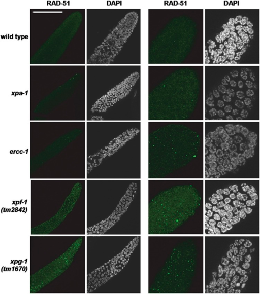 xpa-1-, ercc-1-, xpf-1- and xpg-1-deficient animals accumulate RAD-51 foci. RAD-51 foci visualized by the immunofluorescence of gonads of wild-type, xpa-1, ercc-1, xpf-1 and xpg-1 animals. Shown is the distal part of the gonad containing proliferating germ cells prior to meiosis. For each strain, two examples are shown (left and right panels). The panels on the right show a higher magnification of the distal gonad. The bar in the first image represents 50 μm
