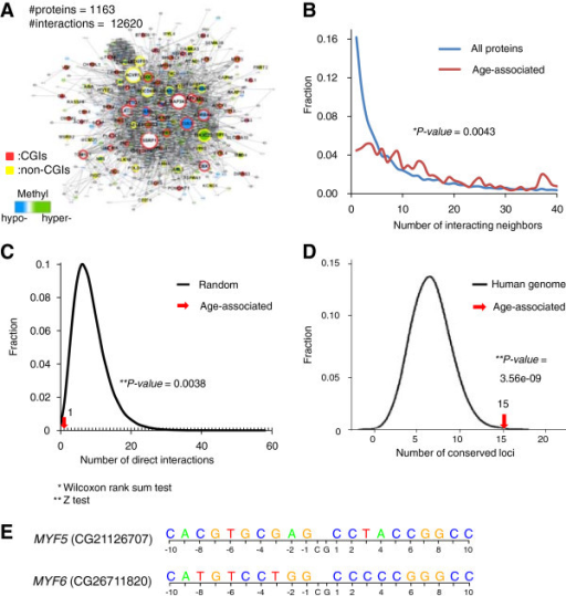 Network characteristics and sequence conservation of the age-associated DNA methylation signature. (A) Protein interactions of age-associated DNA methylation genes in normal tissue. Blue or green nodes indicate genes hypo- or hypermethylated with age; gray nodes indicate the interacting neighbors of the age-associated gene products. Red or yellow borders of nodes indicate whether the loci are located in CGIs (red) or non-CGIs (purple). Edges between nodes indicate the protein–protein interactions of gene products. Node sizes are proportional to numbers of interacting proteins. (B) The distributions of numbers of interacting protein neighbors from the network shown in (A) (in red), or from all protein interactions combined (in blue), respectively. (C) The number of direct protein interactions between gene products affiliated with the age-associated DNA methylation signature is indicated by a red arrow. The black curve indicates the distribution of 106 random selections of proteins with the same number of the age-associated genes. (D) The number of the age-associated DNA loci with significant the average phyloP scores (>1.3) is indicated by a red arrow. The black curve indicates the background distribution of the human genome. (E) Surrounding sequences of age-associated loci in MYF5 and MYF6.