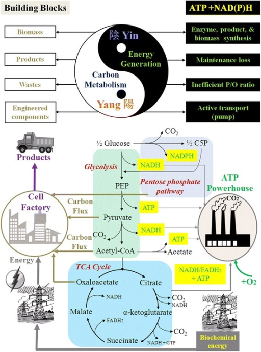 Cell carbon and energy metabolism illustrated by Yin-Yang Theory (note: engineered components include plasmids, over-expressed enzymes, synthetic circuits, etc.).