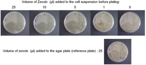 "Managing Zeocin consumption. The experiment was performed as described in the results section. After 4 days at 30°C, plates were photographed. In the upper row, Zeocin was added directly to the cell suspension before plating on Zeocin deficient plates. Numbers on top indicated the volume of Zeocin mother solution added to 150 μl of cell suspension. The lonely plate below the upper row is the reference plate. In that case, the cell suspension was not supplemented with Zeocin, but was plated on Zeocin-containing plate. This reference plate was located between plates ""0"" and ""1"" of the upper row because it roughly contained an intermediate number of clones between these two plates."