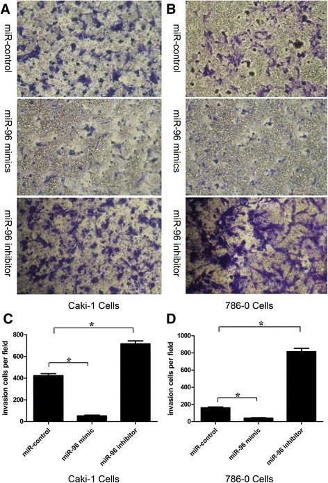 Invasive ability of Caki-1 and 786-O cells transfected with miR-96 inhibitor or miR-96 mimic. Caki-1 cells (a) and 786-O cells (b) were transfected with miR-96 inhibitor, miR-96 mimic or miR-control for 24 h and invasion was examined by Transwell assay. Invasive ability calculated as the mean number of invading cells per field was increased in Caki-1 (c) and 786-O (d) cells following transfection with miR-96 inhibitor and decreased following transfection with miR-96 mimic, compared to cells transfected with miR-control (*p < 0.05)