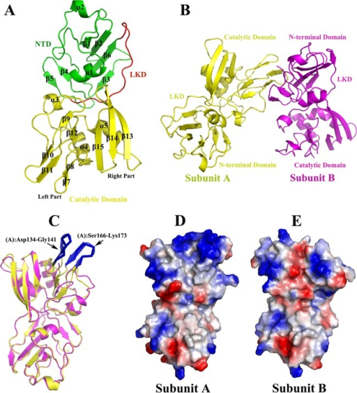 The structure of PRRSV nsp11. (A) Overall structure of the nsp11 monomer. The monomer structure of nsp11 (subunit A) is shown as a colored cartoon. The N-terminal domain (NTD), linker domain (LKD), and catalytic domain are colored green, red, and yellow, respectively. (B) Contents of the asymmetric unit. The two monomers (designated A and B) are colored yellow and magenta, respectively. The NTD, LKD, and catalytic domain are marked as described for panel A. (C) Superimposition of the two monomers of the asymmetric unit. The two monomers are colored using the same scheme as described for panel B. The missing residues (Asp134 to Gly141 and Ser166 to Lys173) are highlighted with blue ribbons in subunit B. (D and E) Subunits A and B are shown as a molecular surface model colored according to electrostatic potential (red for negatively charged regions and blue for positively charged regions). The side views of the molecular surface of nsp11 are shown at the same angles (C, D, and E).