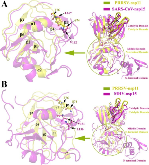 The structural comparison of the N-terminal region of PRRSV nsp11 and the middle region of coronavirus nsp15. (A and B) The structure of PRRSV nsp11 (subunit A, yellow) superimposed onto the structures of SARS-CoV nsp15 (PDB code 2H85, magenta) and MHV nsp15 (PDB code 2GTH, magenta). The structure of the N-terminal region (Gly1 to Gly106) from PRRSV nsp11 superimposed with SARS-CoV nsp15 (Asn62-Ser197) and MHV nsp15 (Ser62-Leu228) is enlarged in panels A and B (the cartoon transparency was set at 60%). The dimerization site determinants Ser74 and Phe76 (corresponding to Val162/Leu156 and Leu167/Val161 in SARS-CoV nsp15 and MHV nsp15, respectively) are labeled with a ball-and-stick (yellow, PRRSV nsp11; magenta, SARS-CoV nsp15 and MHV nsp15) representation. The SARS-CoV nsp15 domains are colored and marked as described for Fig. 3C.