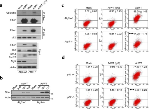 Autophagy is involved in the processing of adenovirus-derived epitopes.(a) Cell lysates from Atg5wt or Atg5-/- MEFs infected with AdWT (50 MOI) were analyzed for fiber/ubiquitin and fiber/p62 protein complexes. LC3-I to LC3-II conversion and p62 expression levels were analyzed in an input sample (5%). Actin is shown as a loading control. (b) Cell lysates from Atg5wt and Atg5-/- MEFs were mock-infected or infected with AdWT (50 MOI) for the indicated times and analyzed for adenoviral fiber expression. Actin was used a loading control. (c) Atg5wt and Atg5-/- MEFs were mock-infected or infected with AdWT adenovirus (50 MOI) for 48 h and then stained with antibodies to adenoviral coat proteins, incubated with APC-conjugated secondary antibody, and analyzed by flow cytometry. IgG isotype was used as a control. Propidium iodide was used to assess cell viability. Data are shown as percentage of APC-positive cells (mean ± SD) of three independent experiments. *** P < 0.001 (percentage of APC-positive in AdWT-infected Atg5wt cells vs. AdWT-infected Atg5-/- cells) (unpaired, two-tailed Student t-test). (d) p62wt and p62-/- MEFs were infected with AdWT adenovirus (100 MOI) for 48 h and then stained with antibodies against adenoviral coat proteins, incubated with APC-conjugated secondary antibodies, and analyzed by flow cytometry. IgG isotype was used as a control. Propidium iodide was used to assess cell viability. Data are shown as percentage of APC-positive cells (mean ± SD) of three experiments. *** P < 0.001 (percent of APC-positive cells in AdWT-infected p62-/- vs. AdWT-infected p62wt cells) (unpaired, two-tailed Student t-test).