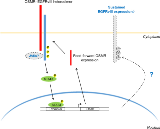 The EGFRvIII–OSMR heterodimer activates STAT3, initiating feed-forward expression of OSMR. EGFRvIII (blue) and OSMR (red) interact at the cell surface, leading to STAT3 (green) phosphorylation and phospho-STAT3 translocation to the nucleus. Nuclear phospho-STAT3 binds to the Osmr promoter and increases Osmr transcription. This results in feed-forward signaling through the EGFRvIII–OSMR heterodimer, which significantly increases HGG growth. Additional aspects of this model that could be explored in future are indicated by dashed lines. These include uncovering the role of JAK family kinases in activating STAT3 and determining whether phospho-STAT3 has a role in maintaining EGFRvIII expression. Yellow circles denote phospho-tyrosine.