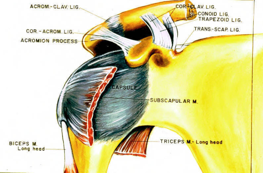 acromioclavicular ligament; acromion process; biceps brachii muscle; shoulder joint capsule; subscapular muscle; triceps brachii muscle; conoid ligament; trapezoid ligament; coracoclavicular ligament; coracoacromial ligament; transverse suprascapular ligament; superior transverse ligament