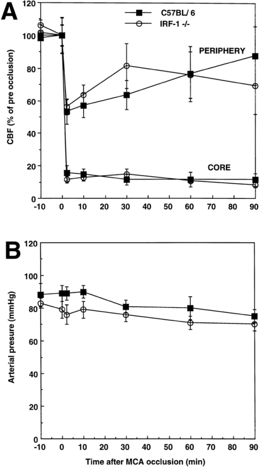 (A) Effect of MCA occlusion on CBF in C57BL/6 mice and  in IRF-1−/−. CBF was measured by laser-Doppler flowmetry in the cerebral cortex of anesthetized artificially ventilated mice (n = 5–8/group)  with monitoring of arterial pressure and controlled arterial blood gases  (see Materials and Methods for details). CBF recordings were made in the  center of the ischemic territory, both where the CBF reduction was  greatest (core) and toward the edge of the ischemic area (periphery).  MCA occlusion produces reduction in CBF that are comparable in  C57BL/6 and in IRF-1−/− mice in both the ischemic core and the periphery (P > 0.05). (B) Mean arterial pressure in wild-type and IRF-1−/−  mice before and after MCA occlusion. No significant differences in arterial pressure were observed (P > 0.05).