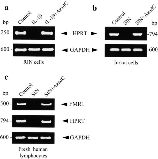 HPRT expression in RIN and Jurkat T cells assessed by RT-PCR. (a) RIN cells unstimulated and treated for 24 h with IL-1β (25 U/ml) in the absence or presence of AzadC (2 μg/ml). (b) Similar protocol used with Jurkat T cells stimulated with 100 μM SIN. (c) RT-PCR of FMR1 and HPRT from fresh peripheral lymphocytes incubated for 24 h with SIN (100 μM) in the absence or presence of AzadC (2 μg/ml). RT-PCR of GAPDH was used as control.