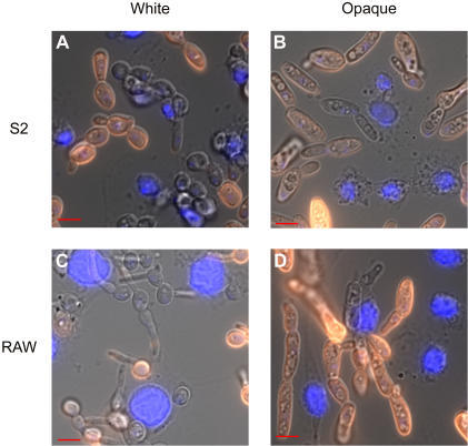 Phagocytosis of white and opaque C. albicans by D. melanogaster S2 and M. musculus RAW cells.White (A,C) or opaque (B,D) C. albicans cells were co-incubated with S2 cells for 3.5 hours (A,B) or RAW cells for 1 hour (C,D), lightly fixed with formaldehyde, stained with rabbit anti-Candida and Cy3-labeled anti-rabbit antibodies. Cells were then stained with a DAPI solution (blue) to localize S2 or RAW cells. C. albicans cells that were not phagocytosed appear orange in these figures.