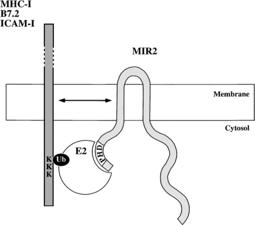 MIR2 directs ubiquitination of its targets.