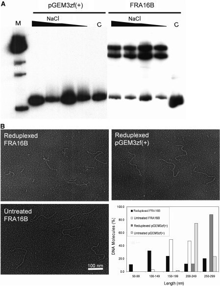 Secondary structure formation of FRA16B DNA following denaturation and re-annealing (reduplexing) reaction. (A) Gel electrophoresis analysis of re-annealed FRA16B DNA. DNA fragments of FRA16B (right) and pGEM3zf(+) (left) were subjected to reduplexing in increasing salt concentrations (0.1–1 M) and analyzed by native 4% PAGE. C, untreated samples; M, molecular weight marker. (B) Visualization of reduplexed FRA16B DNA by EM. After reduplexing reactions, samples were directly mounted onto carbon-coated copper EM grids and rotary shadowcasted with tungsten. Images are shown in reverse contrast. The total lengths of 100 molecules from each sample were measured using Image J software (lower right).