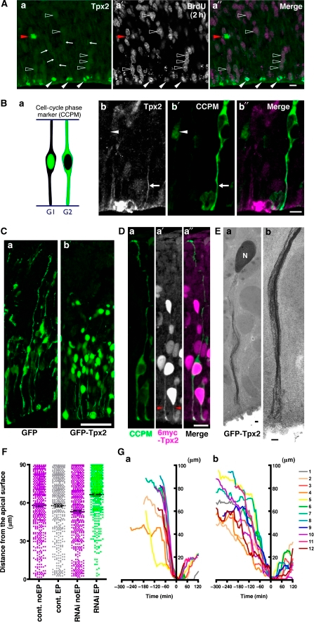 Tpx2 shows temporal expression and association with microtubules in neural progenitor cells, and loss of Tpx2 function perturbs basal-to-apical nuclear migration. (A) Immunostaining for Tpx2 (a), incorporation of BrdU followed by a 2-h incubation (a′), and the merged view (a″; Tpx2, green; BrdU, magenta) in a cryosection of E14.5 mouse brain tissue. Open arrowheads indicate the Tpx2 and BrdU double-positive cells. Arrows indicate Tpx2 signals outside the nucleus. Note that dividing cells showed strong expression of Tpx2 on their mitotic spindles (white arrowheads, apical mitotic cell; red arrowhead, basal progenitor cell). Bar=10 μm. (B) (a) Schematic showing the cell cycle-dependent translocation of GFP in CCPM-electroporated cells. (b) Co-labelling of E13.5 mouse brain tissue using Tpx2 antibody, CCPM and the merged view (b″; Tpx2, magenta; CCPM, green). The white arrowhead indicates the nucleus of a G1-phase neural progenitor cell, whereas the white arrow indicates the apical process of a G2-phase cell identified by CCPM localization. Bar=10 μm. (C) Expression of GFP (a) or GFP-Tpx2 (b) in neural progenitor cells in E13.5 mouse brain tissue. Note that GFP-Tpx2 localizes to nuclei and apical processes extended in the VZ but not to basal processes. Bar=50 μm. (D) Co-expression of CCPM (a), 6myc-TPX2 (a′) and the merged view (a″; CCPM, green; 6myc-Tpx2, magenta). Red arrowheads in (a′) indicate 6myc-Tpx2 localization at apical processes. Bar=10 μm. (E) HVEM image of GFP-Tpx2 in neural progenitor cells. (a, b) A plasmid encoding GFP-Tpx2 was electroporated into E12.5 mouse brain tissue and incubated for 24 h before dissection. Immunostaining using gold particles was performed on vibratome sections, followed by specimen preparation for HVEM analysis. Note the gold particles localized within the nucleus (a) and on several fibre-like structures in the apical processes (a, b). N, nucleus. Bars=1 μm. (F) Nuclear positions after BrdU incorporation in S-phase followed by a 1-h or 30-min incubation with LacZ miR RNAi as a control (cont., grey dots) or Tpx2 miR RNAi (RNAi, green dots) in E13.5 mouse brain tissue. y-coordinate: distance from apical surface (below 90 μm), EP: NLS-GFP-positive nuclei (electroporated cells), noEP; NLS-GFP-negative nuclei in the same microscopic frame (magenta dots). Black error bars indicate standard error of the mean (s.e.m.). (G) Tracking of basal-to-apical nuclear movement with LacZ miR RNAi as a control (a) or Tpx2 miR RNAi (b) in slice cultures prepared from E13.5 mouse brain tissue. Positions of nuclei relative to the apical surface (y-coordinate) were measured according to their incubation time (x-coordinate). The time point at which nuclei showed the most apical localization was defined as zero. Numbers and colour codes of nuclei are indicated on the right. For (A–E), apical surface is down.