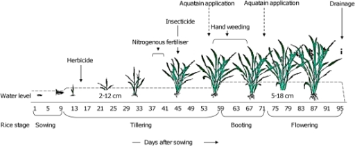 growth stages of a rice plant Low temperature tolerance in rice: the korean experience tolerate low temperatures at various growth stages vegetative stage the rice plant is most sensitive to.