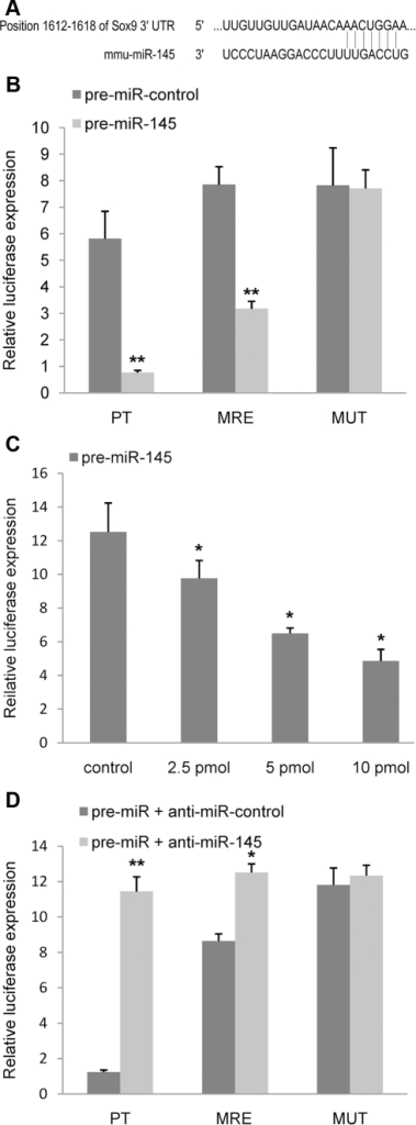 Mir-145 directly targets Sox9.(A) A schematic shows that the 5′ end of miR-145 contains a sequence complementary to the specific miRNA binding site within the 3′-UTR of Sox9 mRNA. (B) Pre-miR-145 or its negative control was co-transfected with the specific pMIR-REPORT construct containing a consensus miR-145-binding site (pMIR-PT) into HEK293 cells. Pre-miR-145 or its negative control was co-transfected with pMIR-MRE into HEK293 cells. pMIR-PT acts as a positive control. (C) HEK293 cells were co-transfected with pMIR-MRE together with varying amounts of pre-miR-145, as indicated. Statistical comparisons were made between multiple groups by ANOVA. (D) Anti-miR-145 or its negative control was co-transfected with either pre-miR-145 together with pMIR-MRE or pre-miR-145 together with pMIR-MUT into HEK293 cells. pMIR-PT acts as a positive control. All cells (B, C, D) were harvested at 48 h after transfection, and then luciferase activities were measured and normalized to the phRL-TK activities. Three independent transfection experiments were done and data was represented as mean±sd. *, p<0.05, **, p<0.01, when compared with control.