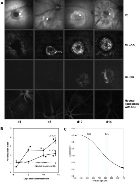 Accumulation of cationic and neutral liposomes was observed with the scanning laser ophthalmoscope (SLO) in vivo. Cationic liposomes (CL)-indocyanine green (ICG), CL-Oregon green (OG), or neutral liposomes labeled with OG were applied intravenously at d1, d5, d10, or d14 after laser treatment. SLO images were recorded for each laser choroidal neovascularization (CNV) 60 min later. A: One representative CNV is shown for each time point and for each of the formulations tested. The CL-ICG images are taken from the same CNV in one mouse, and the corresponding infrared (IR) images are shown for comparison. The other images are taken from different animals. Although neutral liposomes did not accumulate within the CNV, CL-OG was found from d10 onwards and CL-ICG starting from d5. B: The ratio of accumulation of liposomes in the CNV to the control area was calculated for each CNV as described in the methods section. The means and the standard errors of the mean are shown. Values for CL-OG at d10 and d14 and for CL-ICG at d5, d10, and d14 were significantly higher compared to those of neutral liposomes. Data are means obtained from five mice. Error bars indicate SEM, and asterisks indicate statistical significance (p<0.05 as compared to d1). C: Absorption spectrum of mouse RPE. After the retina as removed, the RPE was scraped out, homogenized by pipetting, and diluted in water. Transmission is higher at longer wavelengths. The OG emission was detected at 530 nm and that of ICG at 830 nm. The murine RPE absorption was about twice as high at 530 nm as at 830 nm. This gives an estimate of the reduction of fluorescence emitted by fluorophores when they are located behind the RPE in vivo and is one of the reasons why ICG is more suitable for diagnostics of sub-RPE lesions than OG or fluorescein.