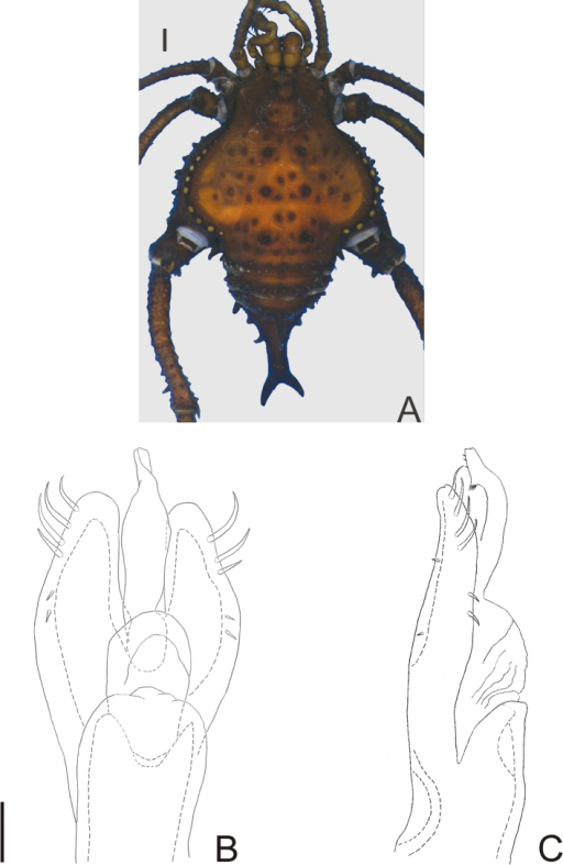 Pirunipygus paradoxus Roewer. Male (holotype): A habitus, dorsal view. Distal part of penis (holotype) B in dorsal view; C ditto, left lateral view. B, C at same scale. Scale bar: A = 1 mm. Scale bar: B = 0.1 mm.