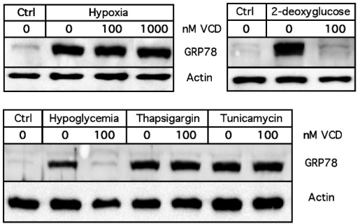 Differential inhibition of GRP78 induction by VCD.Cells were exposed to a variety of known inducers of the ER stress response in the absence or presence of VCD for 24 hours. 2-Deoxyglucose was used at 20 mM; thapsigargin and tunicamycin were used at 200 nM. GRP78 protein expression was analyzed by Western blot analysis. In all cases, blots were re-probed with an antibody against actin (as a loading control). Ctrl: untreated cells kept under normal culture conditions. Ctrl: cells were kept in normal (25 mM glucose) culture conditions without drug treatment.