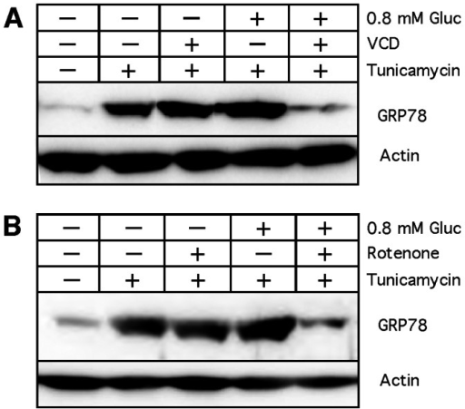Inhibition of tunicamycin-induced GRP78 expression by VCD and rotenone.Cells were exposed to hypoglycemia (0.8 mM glucose) in the presence or absence of 100 nM VCD (A) or 100 nM rotenone (B) at time 0 hours. In all cases, tunicamycin was added 8 hours later for an additional 16 hours. Thereafter, cell lysates were prepared and analyzed by Western blot for GRP78 expression levels. Actin was used as a loading control.