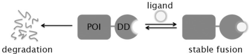 Schematic showing that the stability of a protein of interest (POI) fused to a destabilizing domain (DD) can be controlled using a high-affinity, stabilizing ligand.