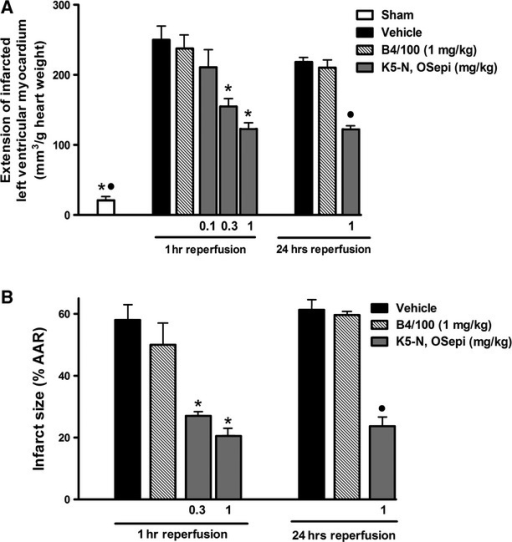 Effects of K5-N,OSepi on myocardial infarct size evoked by regional I/R. (A) Dose–response effects of K5-N,OSepi (0.1–1 mg/kg) on the extension of left ventricular myocardium with I/R-induced injury, as evaluated on hearts stained with nitro-blue tetrazolium and (B) quantification of infarct size after I/R injury, expressed as per cent of area at risk (AAR), in the absence (vehicle) or presence of K5-N,OSepi (0.3–1 mg/kg) or B4/100 (1 mg/kg). Data are means ± SEM of six animals/group. *P < 0.01 versus vehicle (1 hr reperfusion) and •P < 0.01 versus vehicle (24 hrs reperfusion).