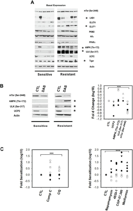 The expression and phosphorylation status of metabolic sensors and transducers in primary CLL lymphocytes is correlated with Dasatinib responseA.Representative Western blots for Dasatinib sensitive and resistant samples showing significant differences (*) between sets for the expression of LKB1, activator of AMPK, was significantly decreased in sensitive samples (t-Test p=0.03) and correlated with Dasatinib in vitro resistance (IC50 values) (Spearman Corr. r=0.7, p= 0.03). Basal AMPK (Thr172) and ULK1/2 (Ser317) phosphorylation were significantly higher in resistant samples by 2 and 6.3 fold respectively (t-Test p=0.03 and p<0.001). Western blots analysis revealed similar expression of GLUT-4 in all samples tested and a significant lower expression of GLUT-1 in sensitive samples (Mann-Whitney U Statistic p=0.005). Resistant samples showed increased basal expression of TIGAR and was positively associated with Dasatinib resistance (Pearson Corr. r=0.75, p=0.02). PKM2, UCP2, PPARa, mTOR (Ser2448) and Hif-1a expression were variable and highly expressed in the samples tested but not associated with Dasatinib resistance. B.Left panel: Western blots showing Dasatinib in vitro treatment significantly (*) decreased mTor phosphorylation (Ser2448) and UCP2 protein levels by 5 fold (Paired t-Test p=0.004) and 2 fold (Paired t-Test p=0.008), respectively in all samples tested after 12h. While, Dasatinib-induced AMPKThr172/ULK1/2(Ser317) phosphorylation in Dasatinib resistant samples by 5 fold (Paired t-Test p=0.008), and 2.8 fold (Paired t-Test p=0.01). Right panel: scatter plot of the significant (***) effect in fold changes Log 10 of Dasatinib in Dasatinib sensitive (black shapes) and resistant samples (white shapes). C.Left panel: scatter plot showing ratios of co-treatment with Dasatinib and vehicle (CTL), 5μM compound C (Comp C) (an AMPK inhibitor) and 1μM Chloroquine (CQ) (an inhibitor of late autophagy). Both selective sensitized resistant samples (white shapes) to Dasatinib by 7 and 2 fold respectively (mean value) (Paired t-Test p<0.05). Right panel: scatter plot showing the effect on 4 drugs at non toxic concentrations on Dasatinib. Two mTORC1 inhibitors Rapamycin (100nM) and Metformin (1mM) as well as two downstream mTOR pathway inhibitors: CGP-57,380 (1μM) and 4EGI-1 (10μM) significantly (***) sensitized sensitive samples (black shapes) to Dasatinib with median sensitization values of 3.7, 5.3, 4.4 and 4.1 fold for Rapamycin, Metformin, CGP-57,380 and 4EGI-1 respectively (Paired t-Test p<0.01).