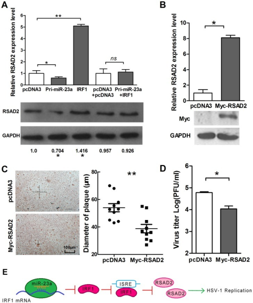 IRF1 suppresses the replication of HSV-1 partially by up-regulation of RSAD2.(A) HeLa cells were transfected with IRF1 and pcDNA3 or co-transfected with IRF1 and Pri-miR-23a and control vector, as indicated. Total RNA was extracted, and RSAD2 mRNA was quantified by quantitative real-time PCR. (B) HeLa cells were transfected with Myc-RSAD2. At 48-h post-transfection, quantitative real-time PCR was used to detect the level of RSAD2 mRNA, and at 72 h post-transfection, a Western blot was used to detect the expression level of RSAD2. (C) HeLa cells were transfected with Myc-RSAD2 or pcDNA3. Cells were infected with HSV-1 at 0.01 PFU/cell and stained with neutral red at 36 h post-infection. The mean radius of the cytopathic area was measured. The scale bar represents 100 µm. (D) HeLa cells were transfected with Myc-RSAD2 or pcDNA3. Viral yields were determined by standard plaque assays at 48 h post-infection with HSV-1. (E) Model of miR-23a regulation in HSV-1 replication. Increased levels of miR-23a in HeLa cells led to decrease levels of IRF1 mRNA and RSAD2 mRNA, with a consequent increase in HSV-1 replication. All data represent the mean value ± SD of at least three independent experiments. *: p<0.05; **: p<0.01; ns: No significant differences by Student's t test.