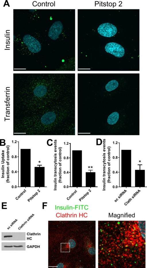 Insulin uptake and transcytosis are clathrin dependent. (A) Cells were treated with insulin-FITC or transferrin-AF555 for 10 min after pretreatment with 10 μM Pitstop 2 to impair clathrin-mediated uptake. White scale, 15 μm. (B) Quantification of insulin-FITC uptake in HAMECs after pretreatment with Pitstop 2. (C) Average insulin-AF568 transcytosis events after pretreatment with Pitstop 2. (D) Average insulin-AF568 transcytosis events after clathrin heavy chain was knocked down by siRNA. (E) Immunoblot of clathrin heavy chain protein after knockdown by siRNA. (F) Insulin-FITC (green) colocalizes with clathrin heavy chain (red). Colocalization was quantified via the Manders coefficient, which is 0.491 ± 0.020. Dashed box indicates area enlarged on the right; white scale, 15 μm.